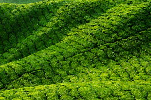 Tea plantation in row, Cameron Highland, Malaysia.