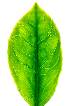 Close up tea leaf isolated on white background