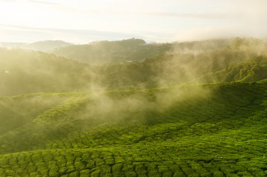 Sunrise view of tea plantation landscape at Cameron Highlands, Malaysia.