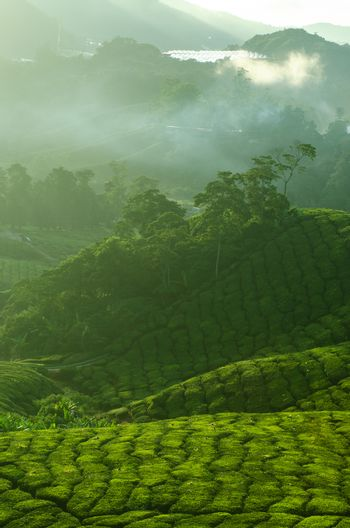 Tea Plantations at Cameron Highlands Malaysia. Sunrise in early morning with fog.