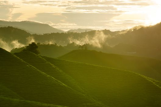 Sunrise view of tea plantation landscape at Cameron Highlands, Malaysia.