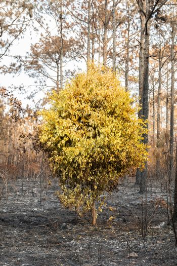 Trees burned by wildfire in tropical rainforest of Phu Kradueng national park, Loei, Thailand.