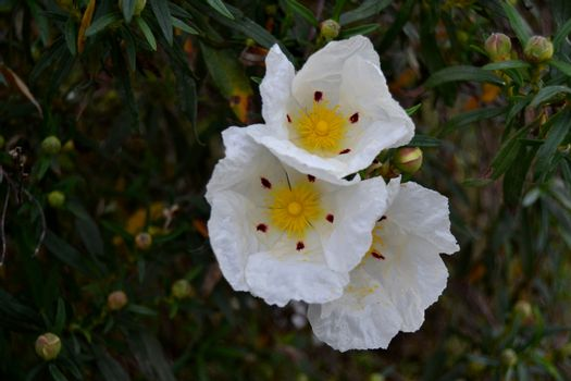 Beautiful Flowering Rockrose Flowers in Autumn in the Countryside