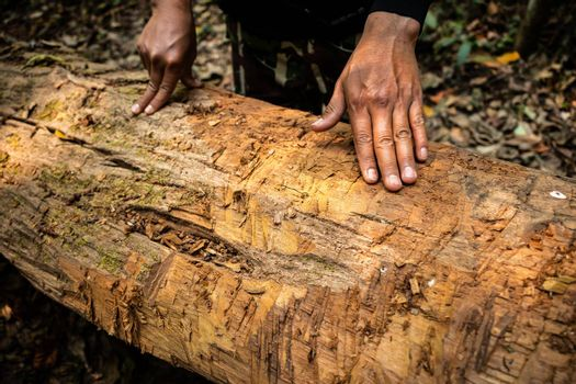 Hands of asian man touching on dead tree lay on rainforest ground. Trunk of hardwood show rough surface without bark cover.