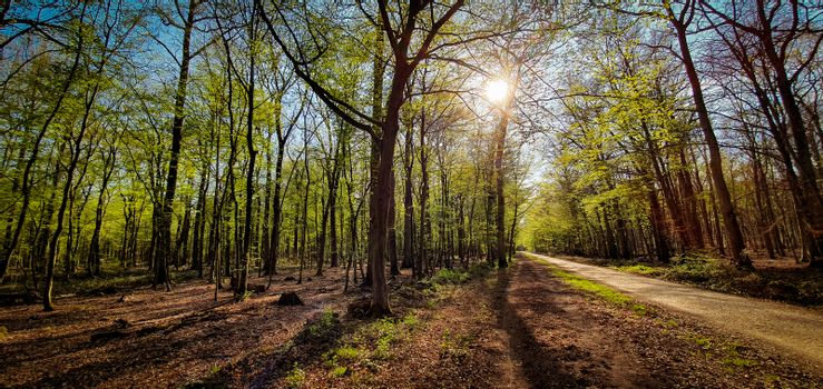 Beautiful green forest with sun shining through. Forest trail for walking and biking. Kottenforst, Germany.