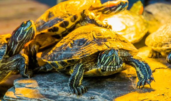 closeup portrait of a red eared slider turtle with other turtles in the background