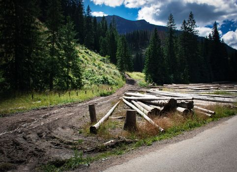Wood dump near high spruce forest