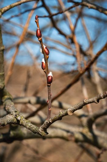 spring willow twig