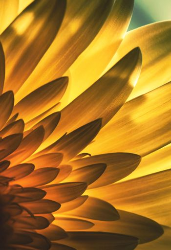 Abstract view of a flower petal in backlight