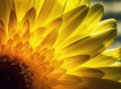 Gerbera petals backlit