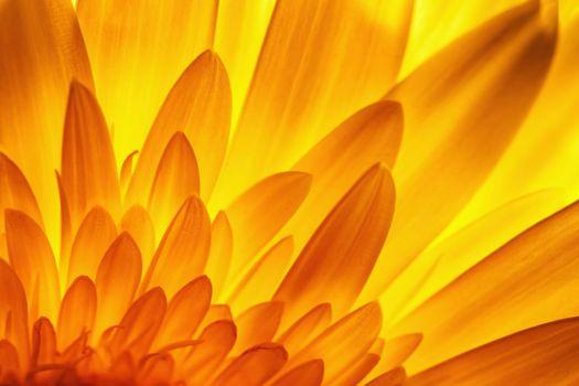 gerbera flower petal detail in backlit