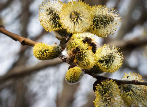 two bee on yellow blooming willow