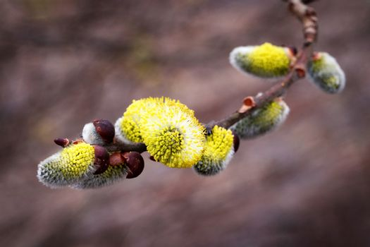 Yellow blooming Peachleaf Willow