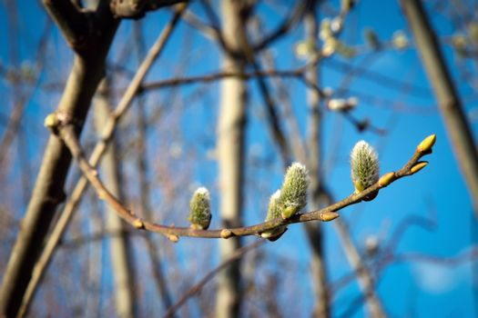 willow catkins with yellow pollen