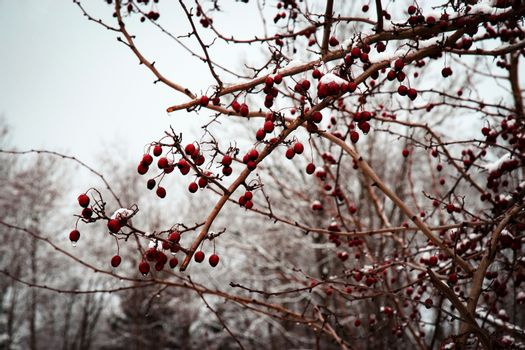 red fruits of hawthorn in winter