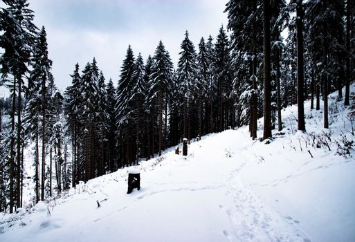 high spruce forest in winter