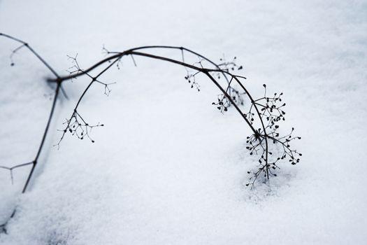 stem of dried plants on snow