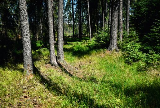 the edge of the spruce forest