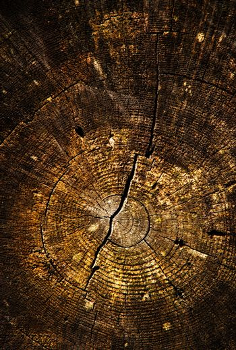 detail of an old stump sawn