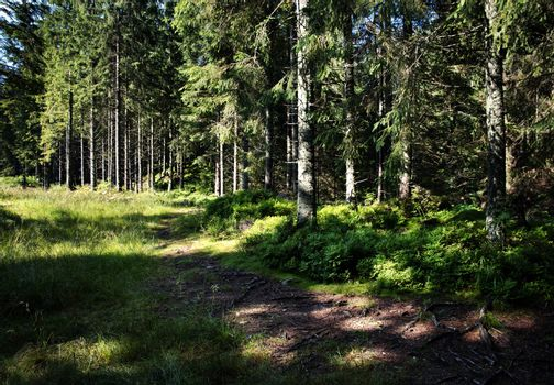 on the edge of spruce forest