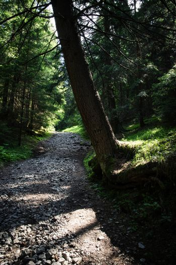 Spruce over the forest path