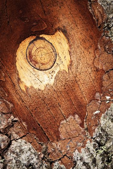 detail fir bark the branches sawn