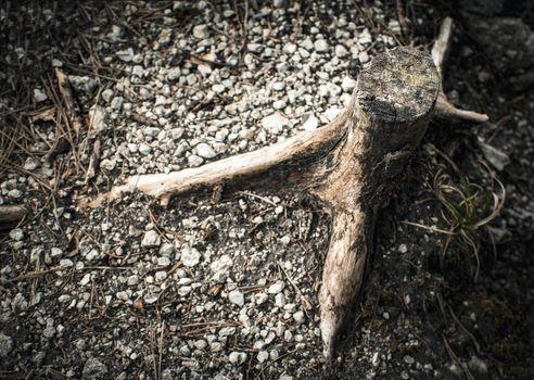 detail on thin old stump