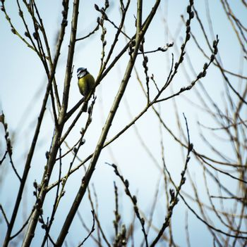 Titmouse on branches of willow
