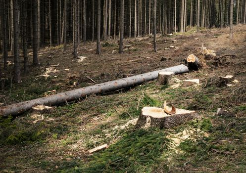 partially sawn spruce forest