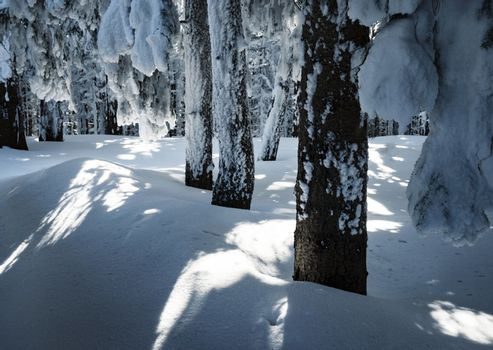 detail  snowy spruce forest