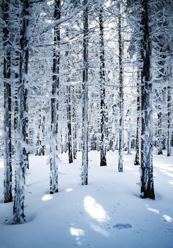 in a densely snowy spruce forest