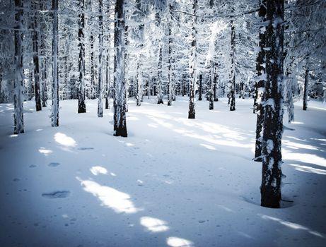 dense spruce snowy forest