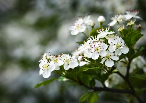 white flowers of hawthorn