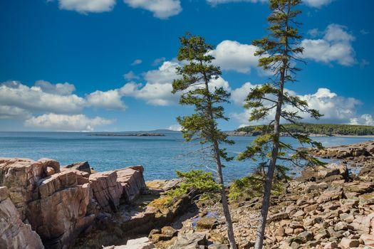 Pine Trees on Maine Coast