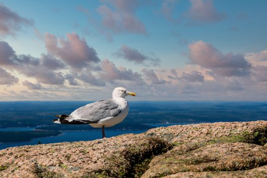Seagull on Boulders over Maine Harbor