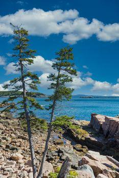 Two Pines on Coast Near Bar Harbor