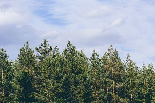 Pine trees against a overcast sky