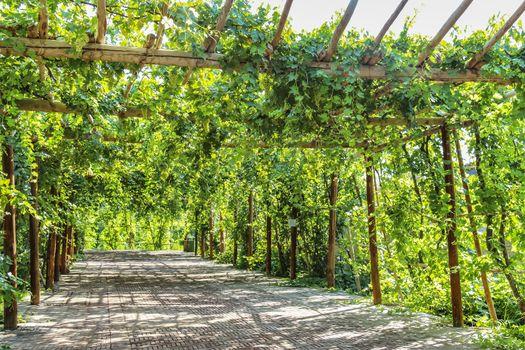 Grapevines cover the entire trellises along the pathway of Qingnian Lu, Turpan, Xinjiang