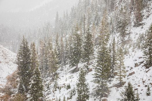 Pine woods on mountain slope inside Yellowstone National Park, Wyoming, USA covered by snow in early season of winter.