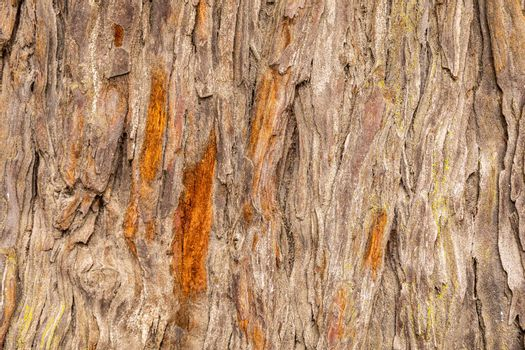Close focus on texture of old hardwood tree, rough bark damage and cracking out from trunk.