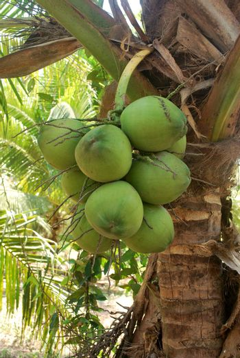 Coconut plantation, nectar, planted in the tropics, exported to foreign countries.