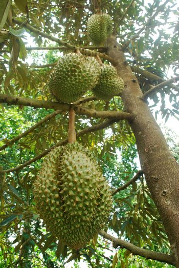 The cultivation of Mon Thong durian in tropical Thailand.
