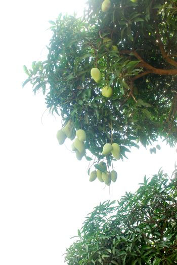 Infinity luck mango grows generally in the tropics on hhite background.