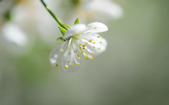 sour cherry tree white flower close detail outdoors