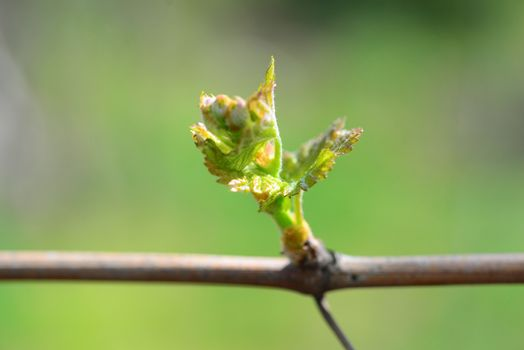 grape vine bud macro Sprout Of Vitis Vinifera