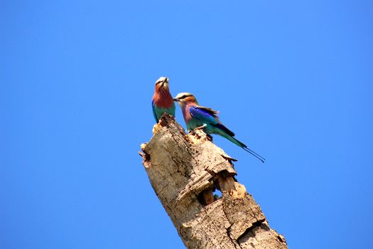 Two birds on a log with sky in the background. Photograph taken in the Massai Mara National Park, Kenya (Africa)