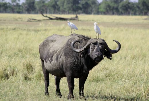 Buffalo in the African savannah with two birds on top. Photograph of the Massai Mara National Park in Kenya (Africa)