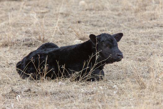 Cow Calf in field