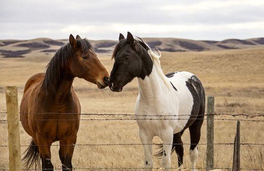 Prairie Horses Saskatchewan in field spring close