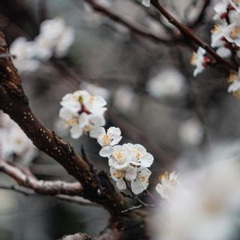 Apricot flowers on a tree, in the sunlight. Close-up. Selective focus. Blur . Moody toning, trend.